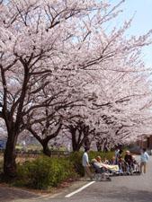 桜並木 お花見